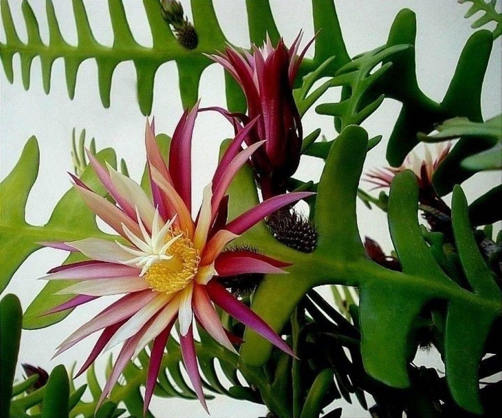 Применение кактуса эпифиллума