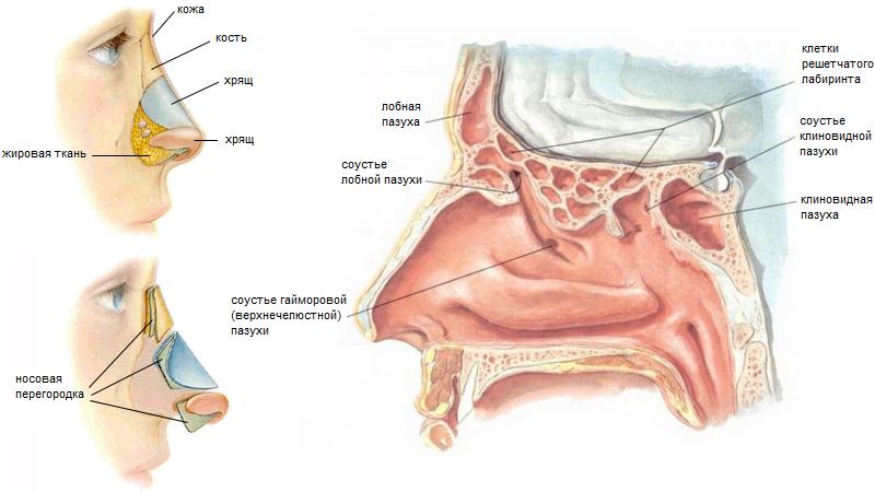 Что форма носа может рассказать о характере человека?