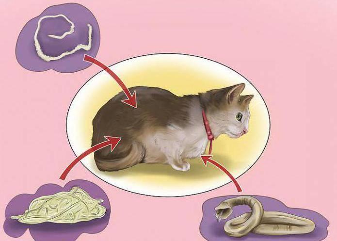 Передаются ли глисты от кошки человеку?