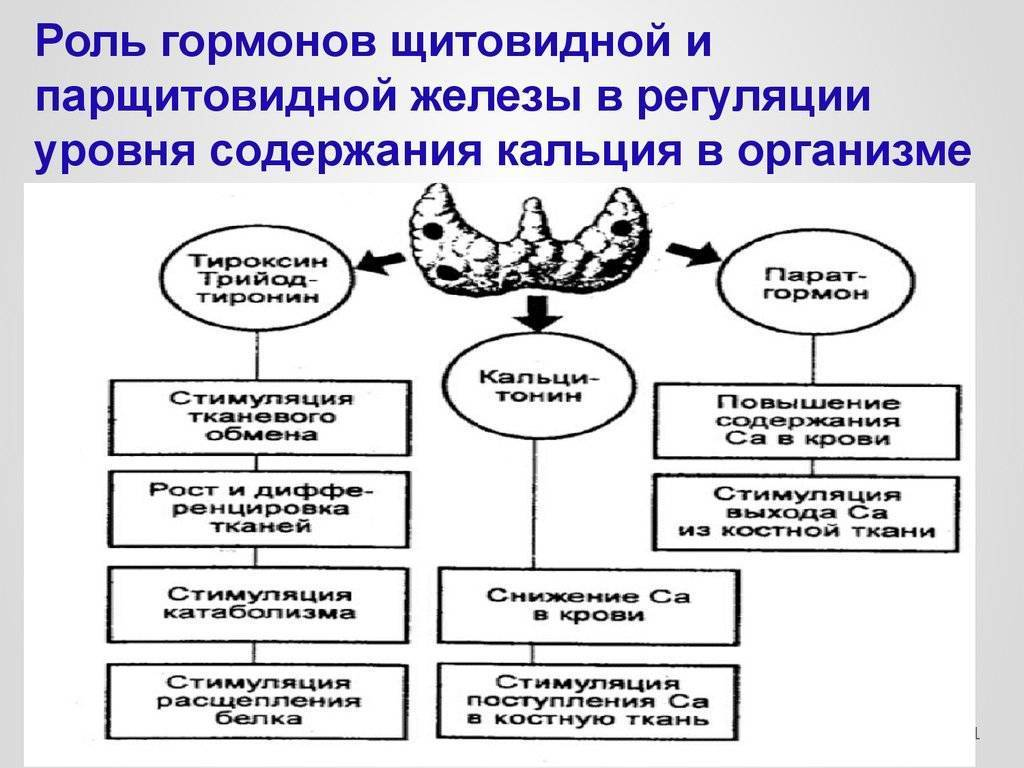 Гормоны паращитовидной железы какие: гормоны, железы, какие, картинки, народные средства, паращитовидной, признаки, схема