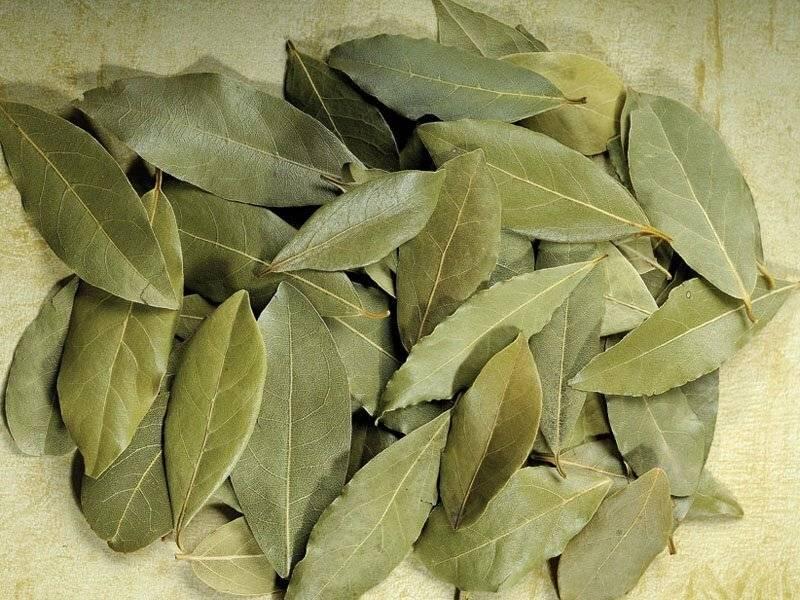 Лечение цистита лавровым листом за один день отзывы