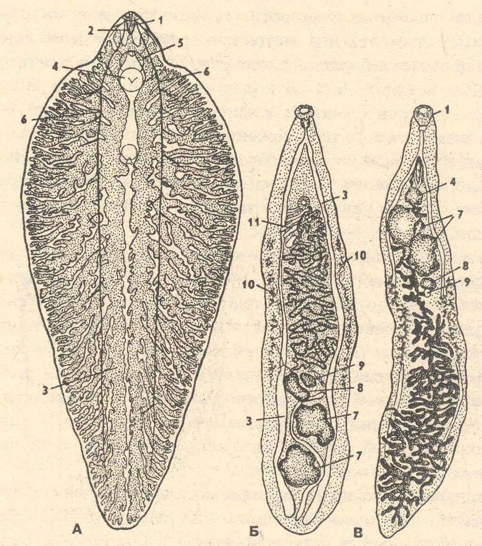 трематоды у человека