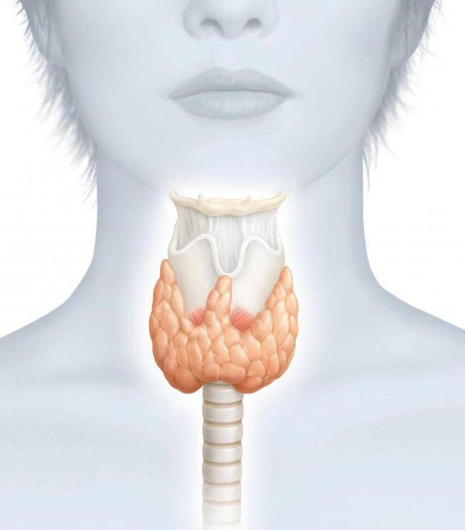 расположение щитовидки