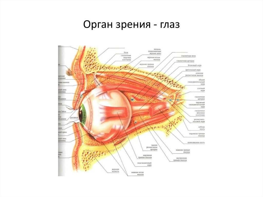 Анатомия: сосудистая оболочка глазного яблока. собственно сосудистая оболочка, choroidea. ресничное тело, corpus ciliare.