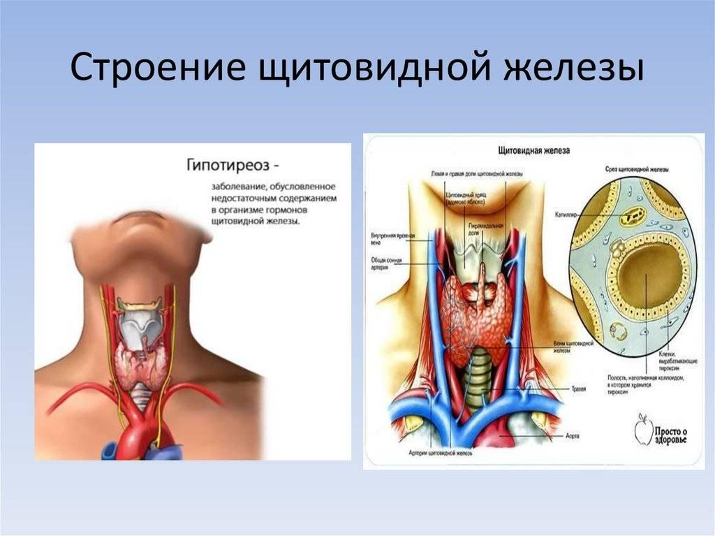 Щитовидная железа — википедия с видео // wiki 2