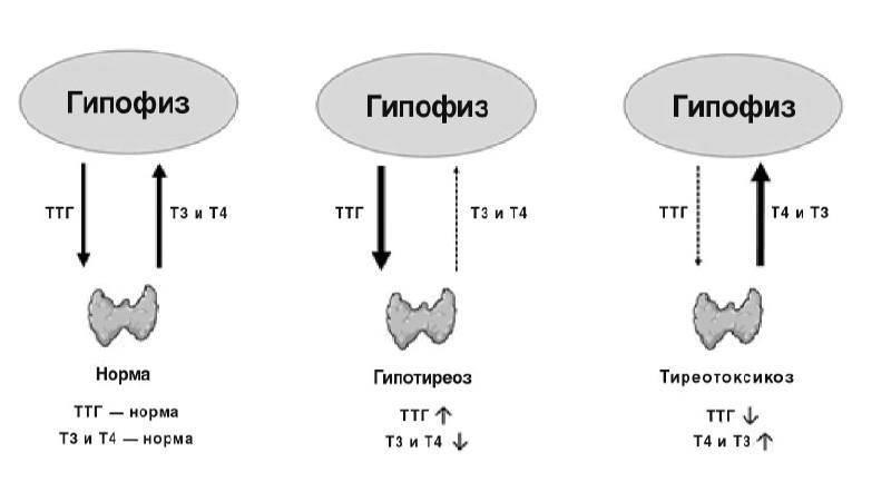 тироксин свободный ниже нормы