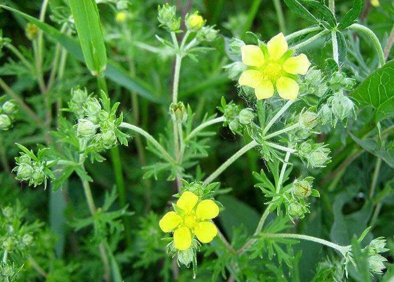 Трава горлянка, лечение препаратами из горлянки. горлянка трава - лечение, описание