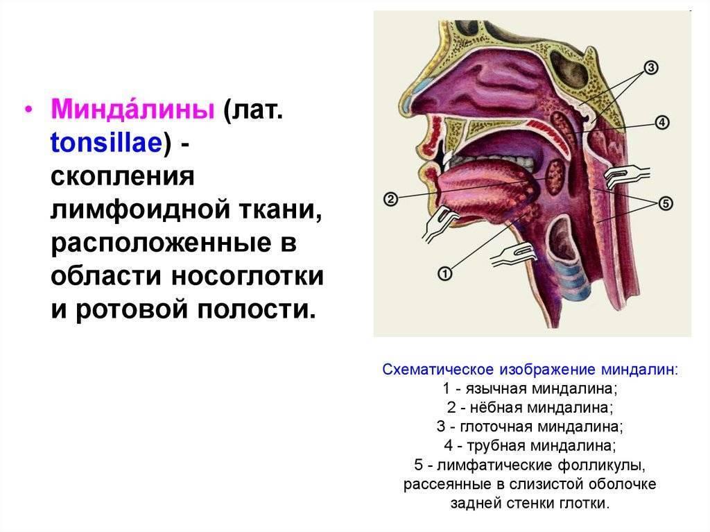 Миндалины глоточного кольца, трубные, небные миндалины, глоточная, язычная миндалина – строение и функции