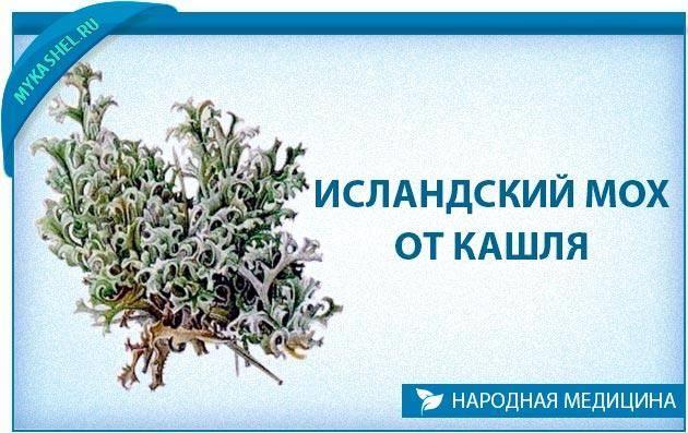 исландский мох лечебные свойства рецепты от кашля