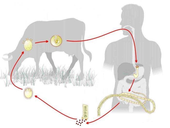 Этапы жизненного цикла свиного цепня