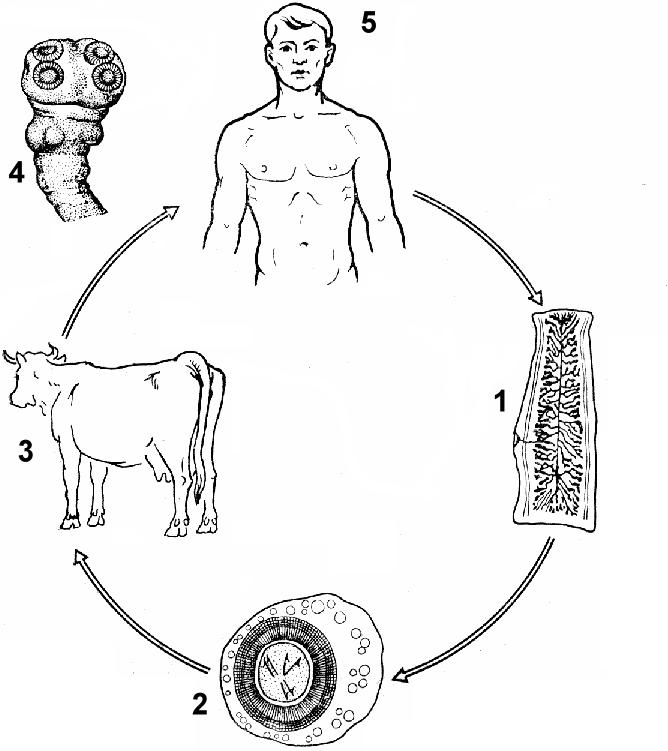 бычий цепень жизненный цикл