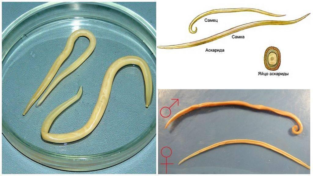 как выглядят личинки глистов