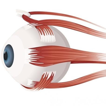 какая мышца находится в глазном яблоке