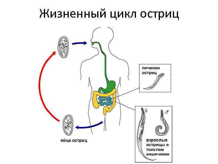 Сколько живут острицы, их личинки и яйца при энтеробиозе?