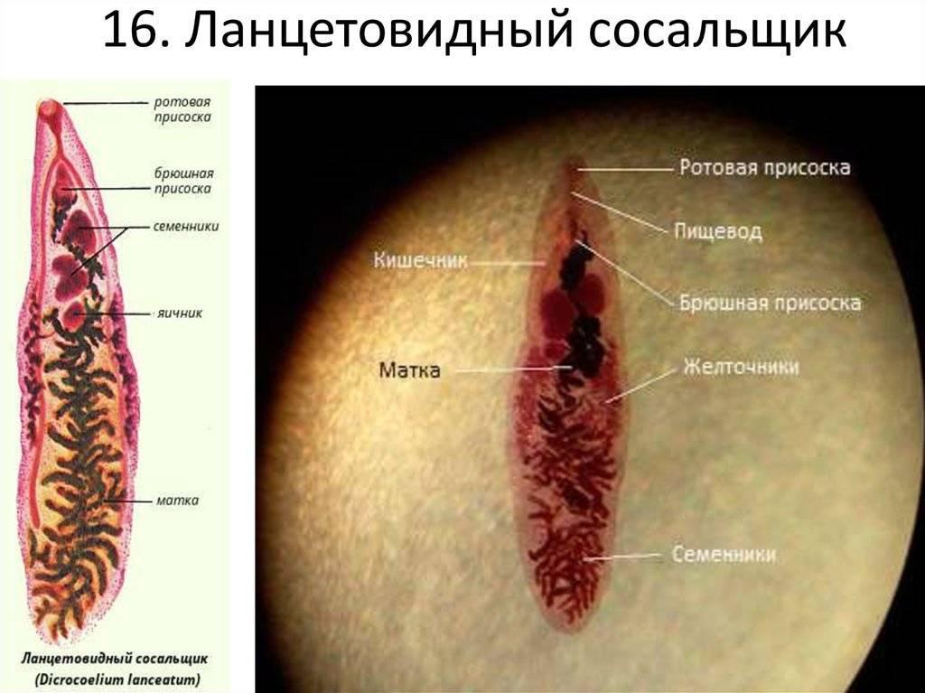 Ланцетовидный сосальщик – жизненный цикл, дикроцелиоз, пути заражения, симптомы, лечение, профилактика