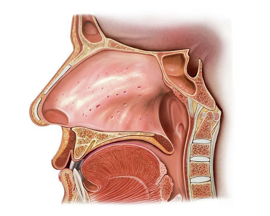 функции полости носа