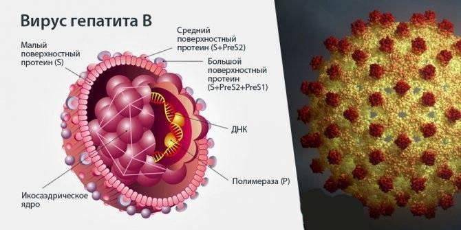 Анализ на антитела к гепатиту в