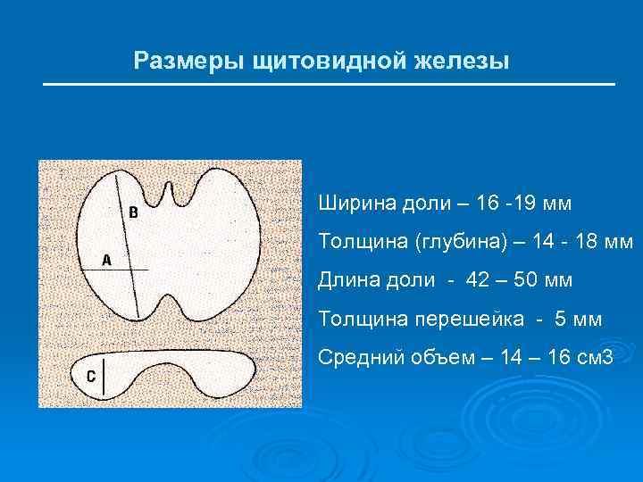 размеры щитовидной железы норма у женщин таблица