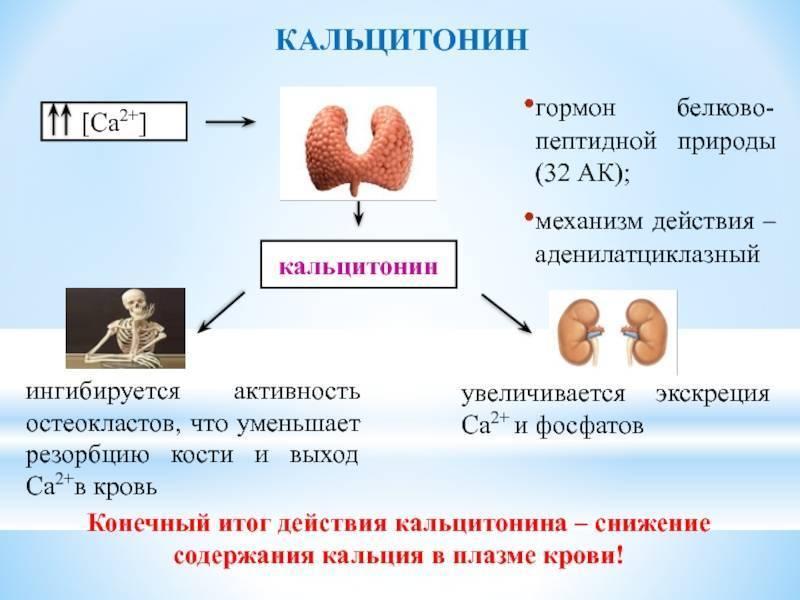 Кальцитонин: норма гормона, функции, отклонения
