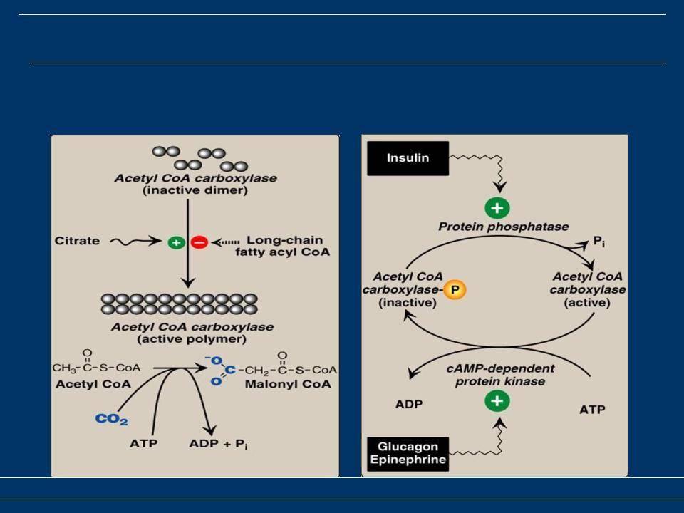 Синтез липидов как резервный процесс получения энергии для организма