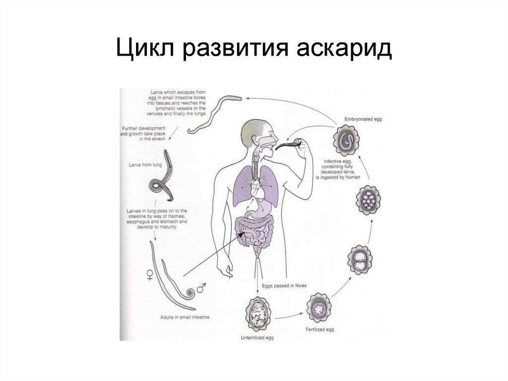 Внешний вид аскариды человеческой