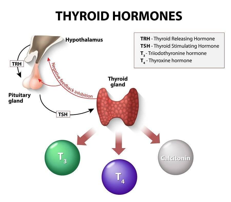 щитовидная железа гормоны повышены что это значит