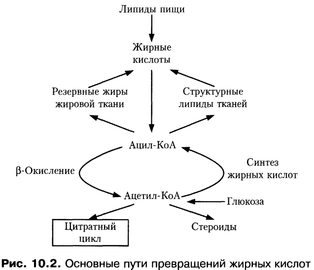 где происходит синтез липидов