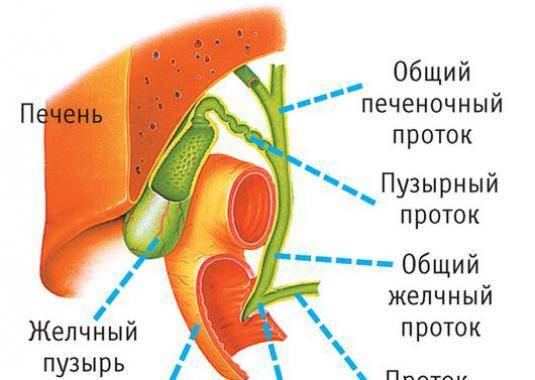 расположение желчного пузыря в организме человека