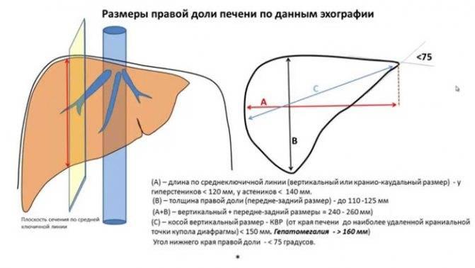 нормальный размер желчного пузыря у женщин