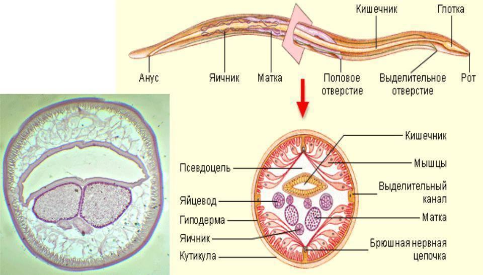 аскариды в крови