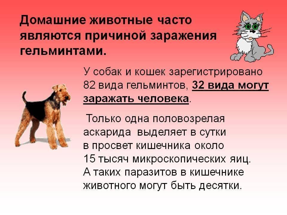 если у собаки глисты может ли заразиться человек