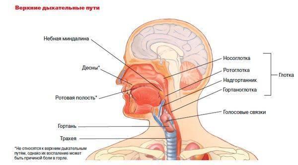 Болит шея спереди. причины болей в передней части шеи, в области гортани, щитовидной железы, мышц шеи, лимфоузлов. что делать при этих болях? почему болит горло? :: polismed.com