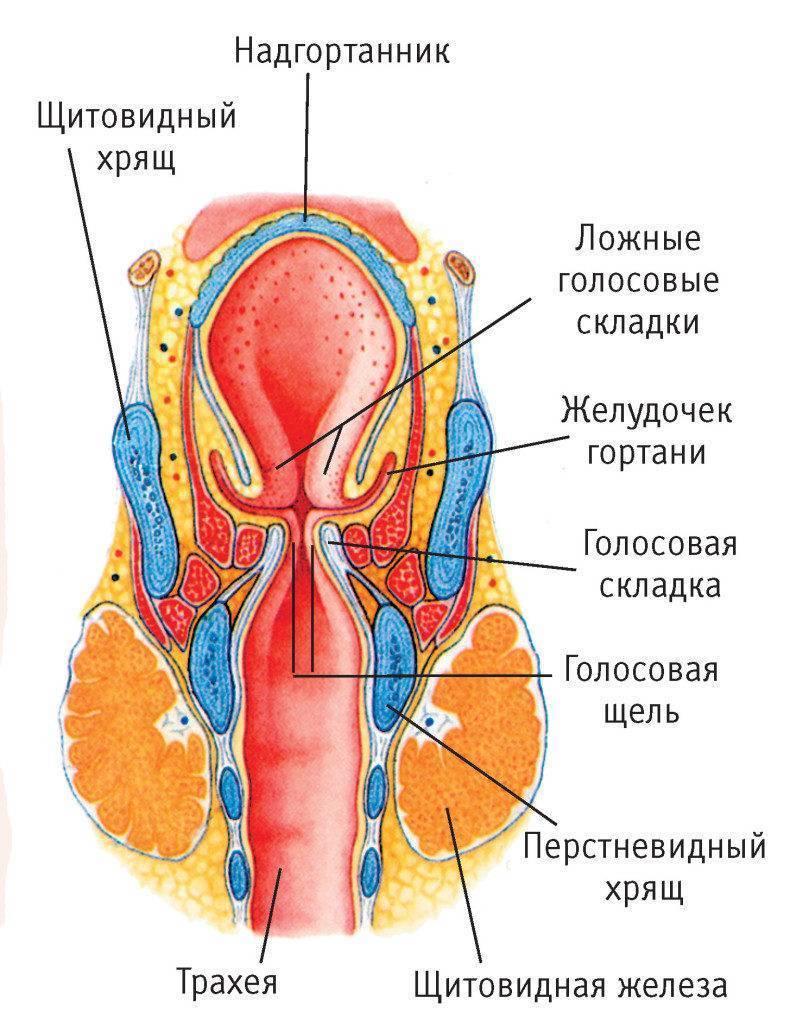 горло анатомия