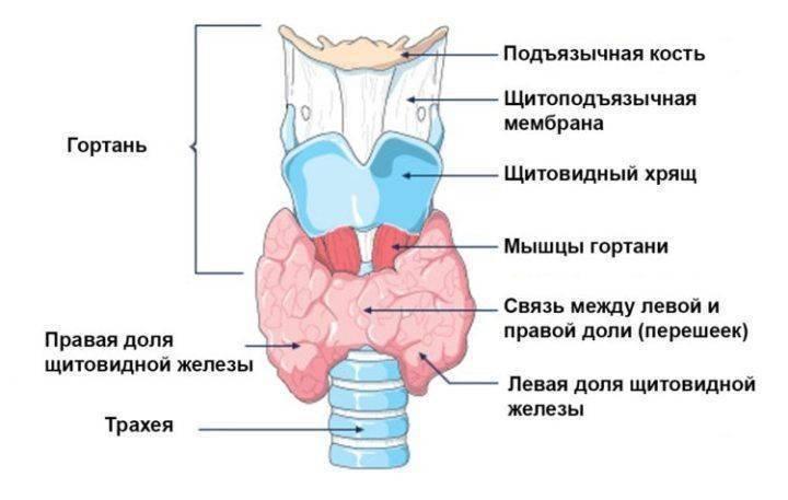 Симптомы кашля при заболеваниях щитовидной железы и как их распознать