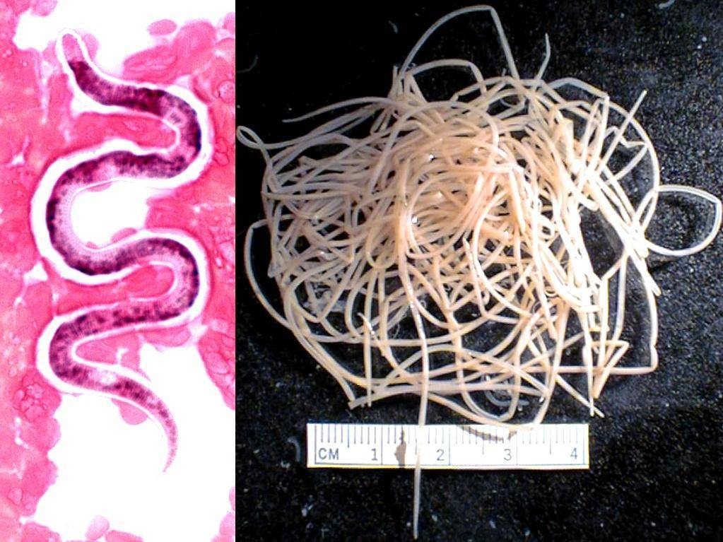 Сердечные черви — википедия с видео // wiki 2