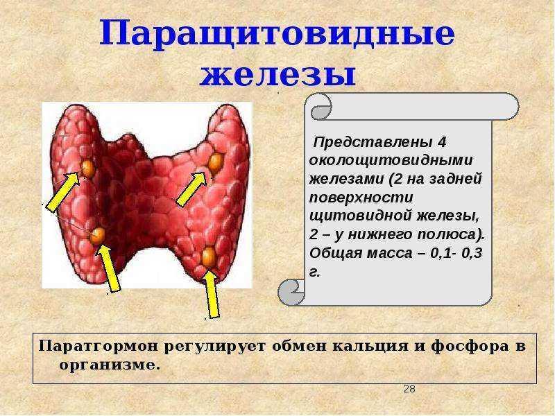 Как гормоны околощитовидной железы влияют на здоровье: гипо- и гиперпаратиреоз