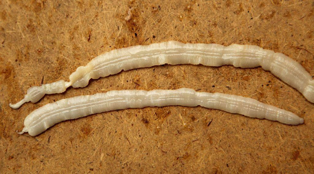 ленточные черви у человека лечение