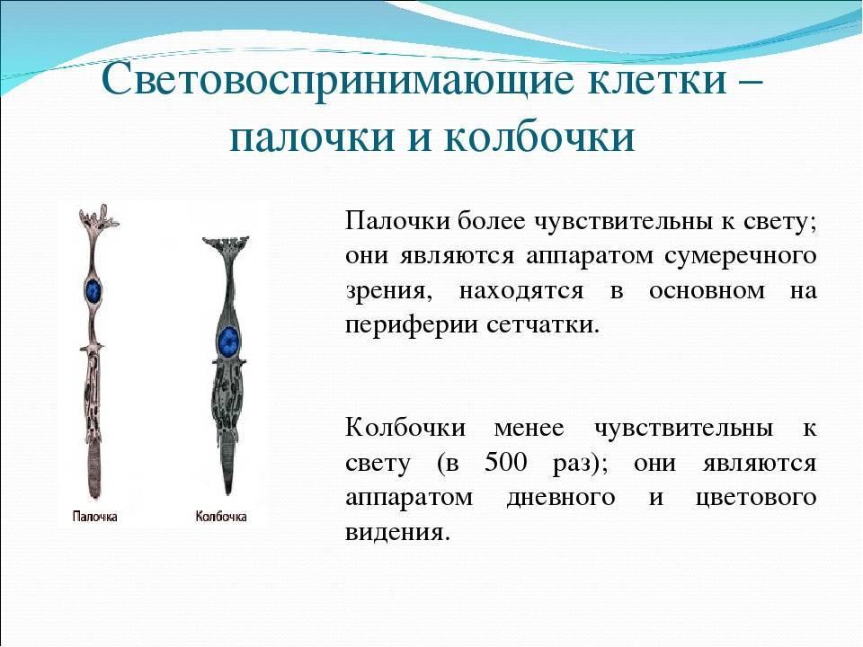 Палочки и колбочки на сетчатке глаза и их роль в цвето- и световосприятии
