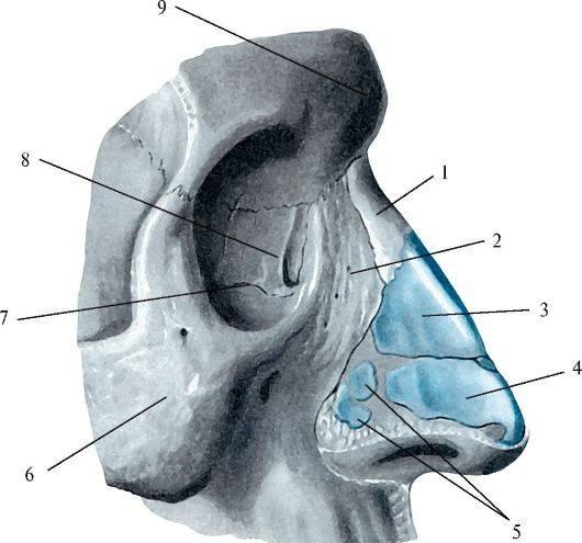 Строение носа человека — анатомия наружной части, внутренней полости и пазух в схемах и фото