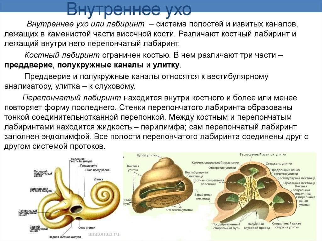 Внутреннее ухо. строение улитки. микроструктура кортиева органа. проведение звуковых колебаний в улитке