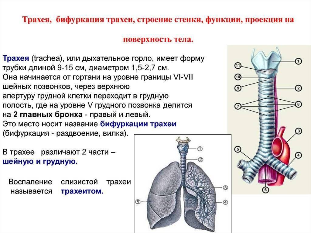 диаметр трахеи