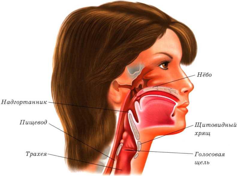 структура горла