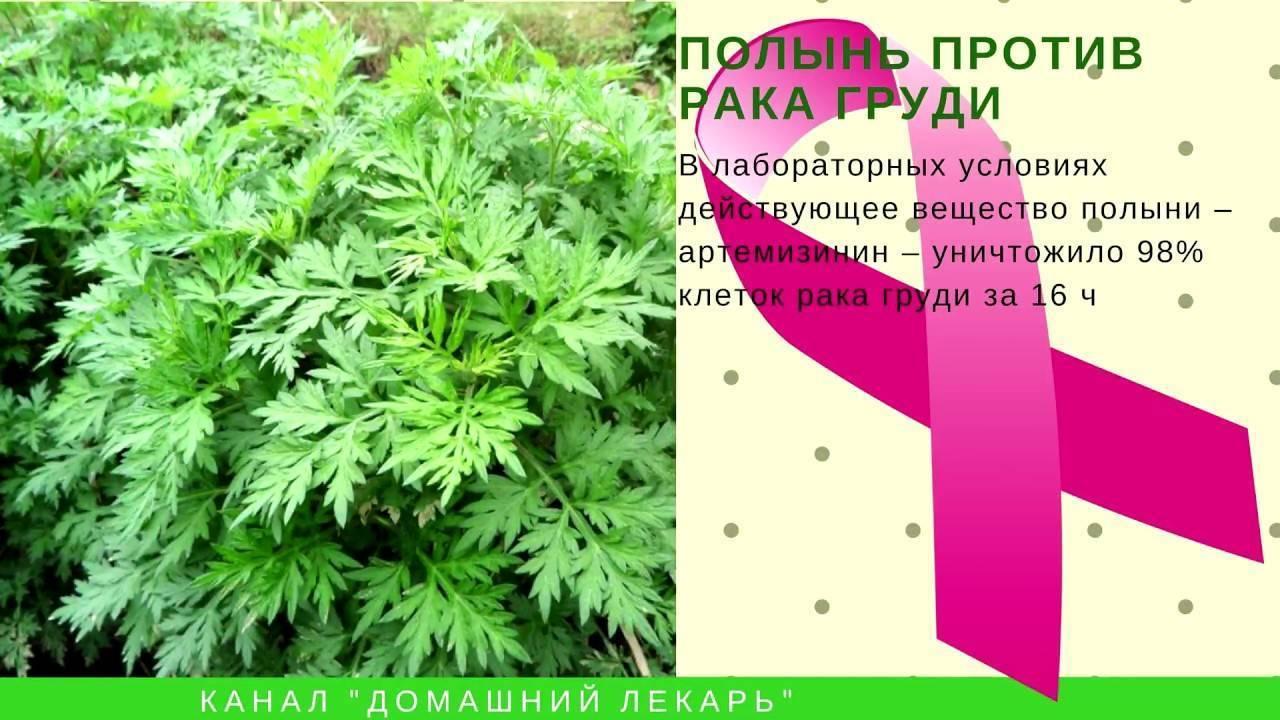 Применение однолетней полыни в лечении онкологии - свойства травы и противопоказания