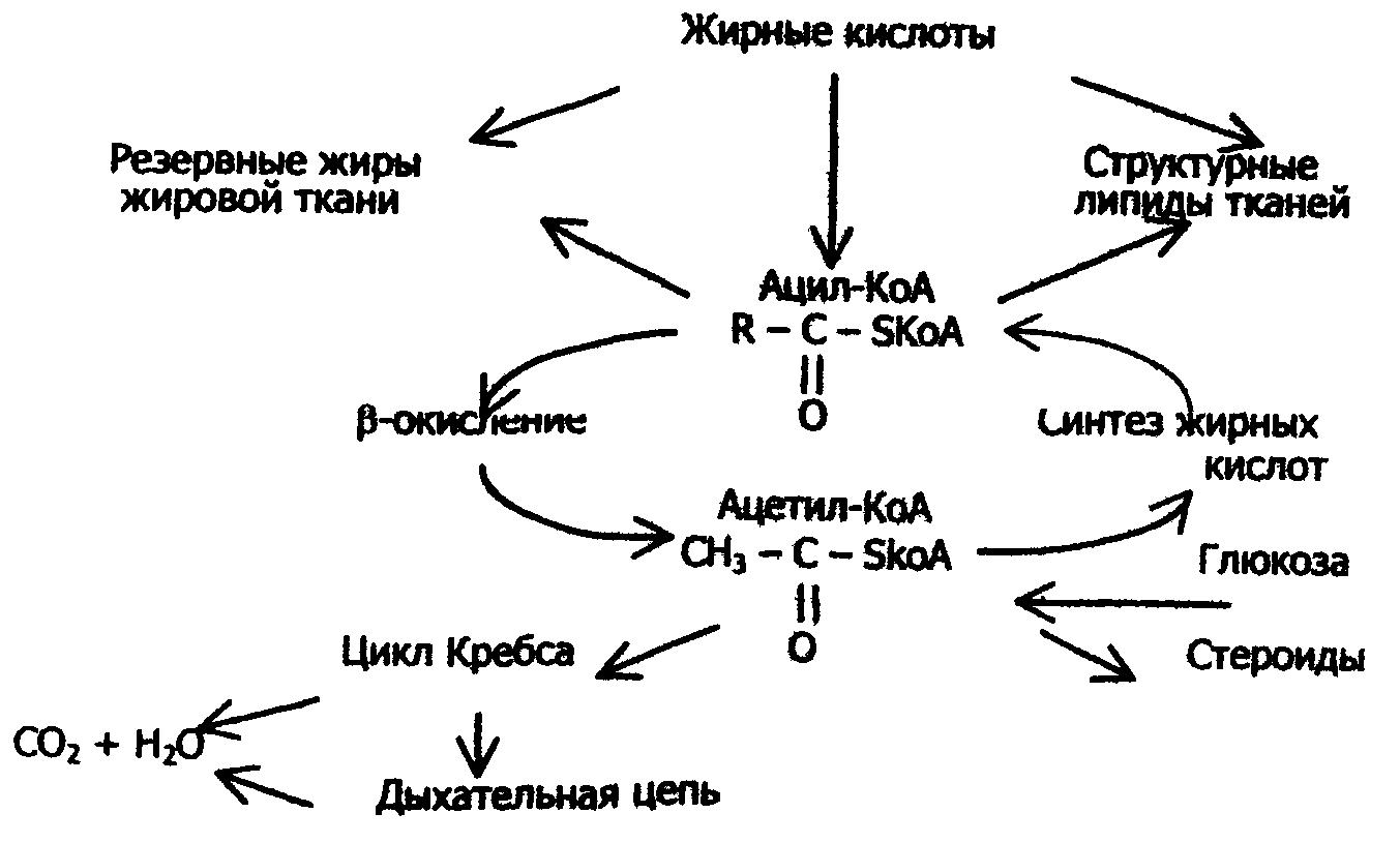 Липидный обмен - lipid metabolism