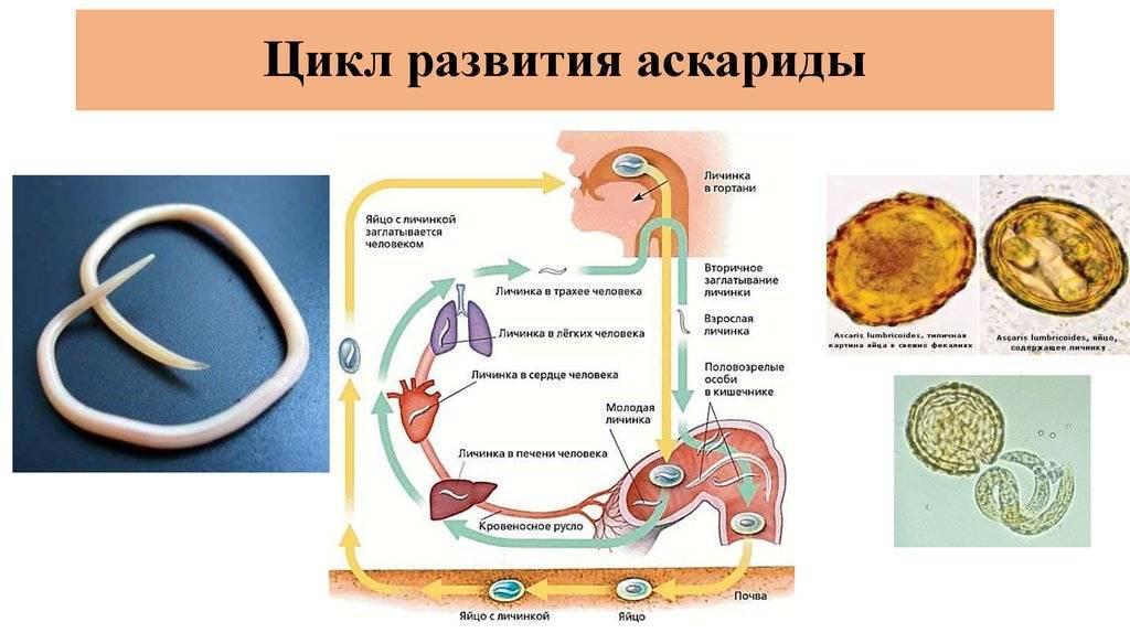 Жизненный цикл аскариды человеческой: этапы развития, последовательность и схема