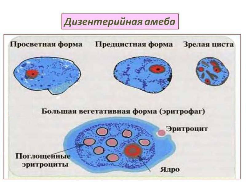 Дизентерийная амеба: что это, симптомы  и пути заражения, методы лечения