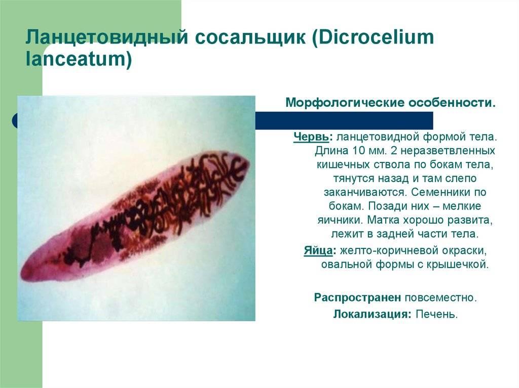 Ланцетовидный сосальщик (ланцетовидная двуустка) - паразит человека.