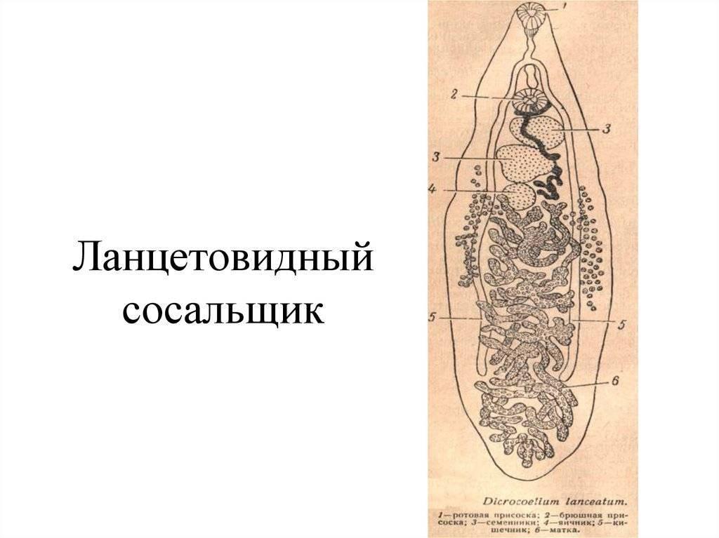 Ланцетовидный сосальщик — строение и жизненный цикл сосальщика