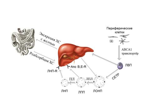 холестерин выработка организмом