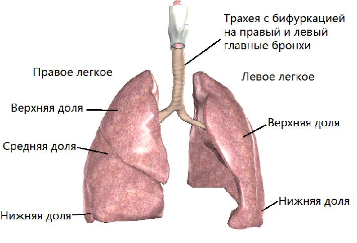 Анатомия : глотка. строение глотки. мышцы глотки. кровоснабжение и иннервация глотки. акт глотания
